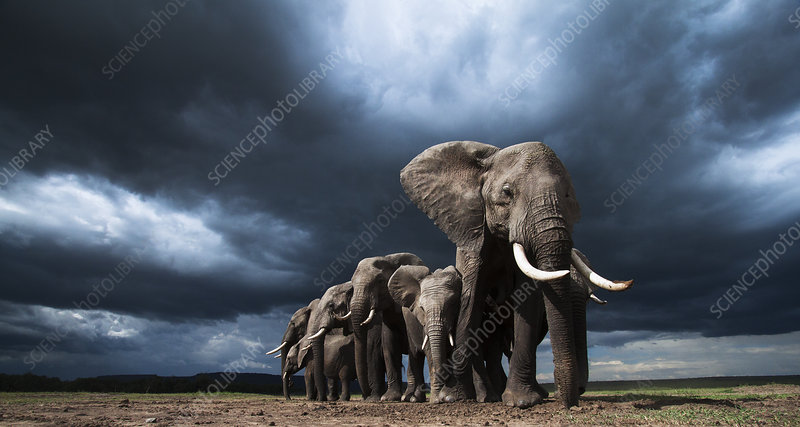 African elephants family herd feeding on loose soil