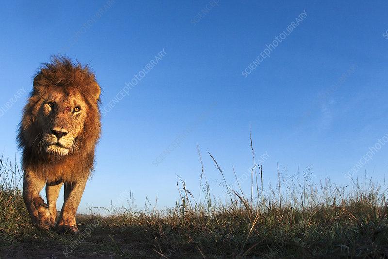 Lion male approaching, Maasai Mara National Reserve, Kenya