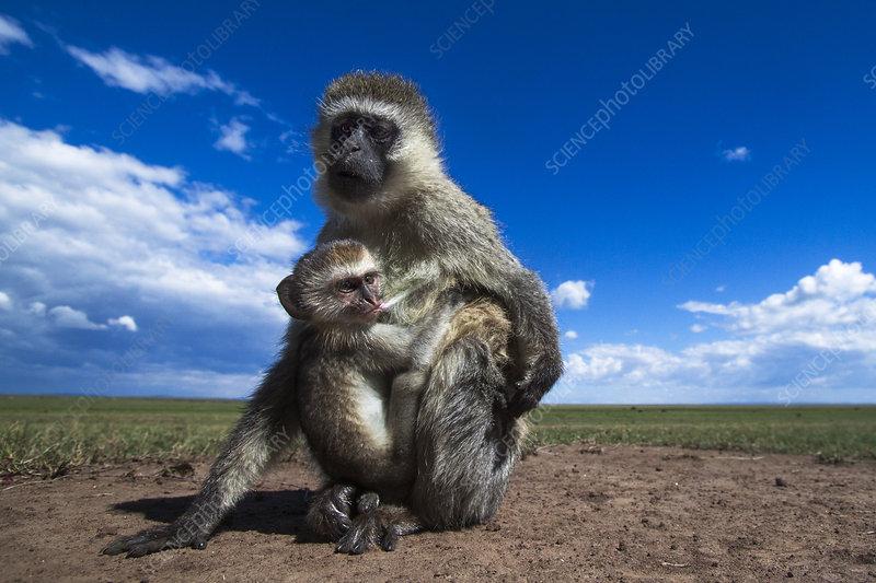 Vervet monkey female with suckling baby