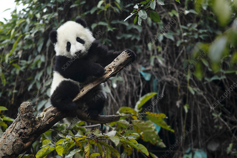 Giant panda age 6 months in tree