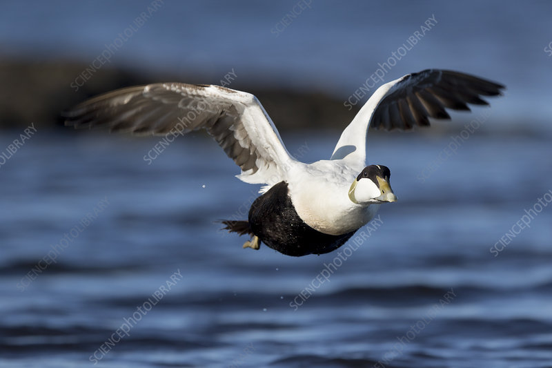 Common eider male flying over sea