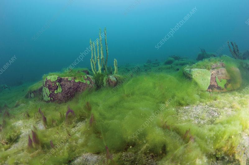 Carpet of dying filamentous algae and cyanobacteria