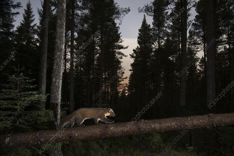 Pine marten walking along branch at night