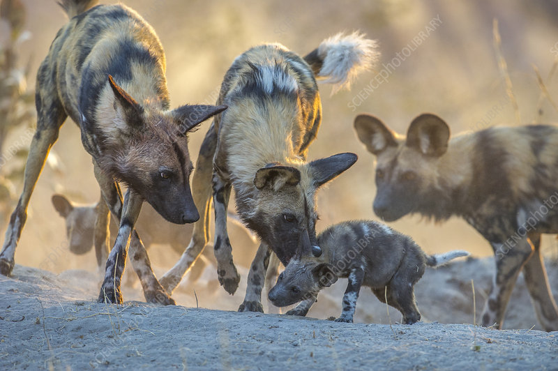 African wild dogs interacting with 2 months pups