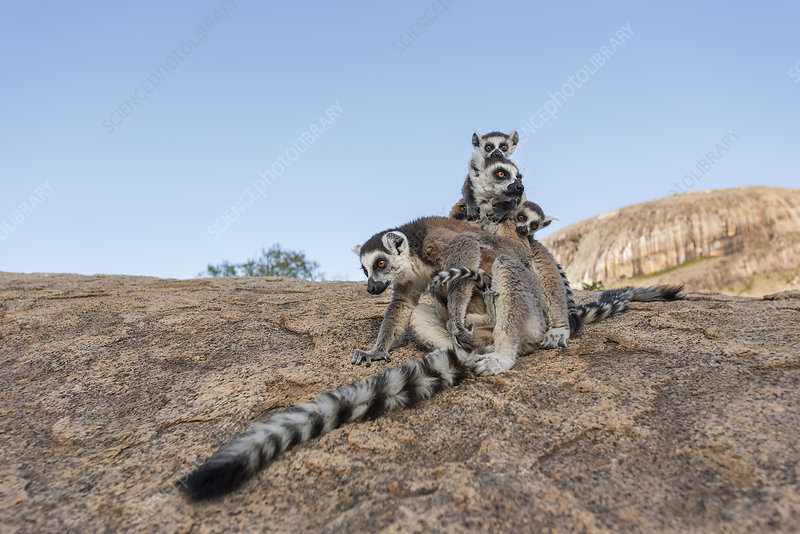 Ring-tailed lemur mothers with young