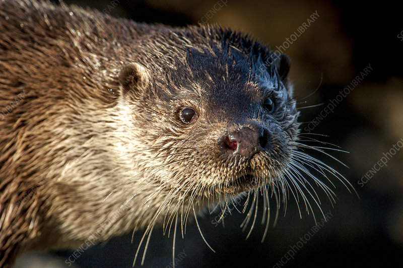European river otter close up portrait