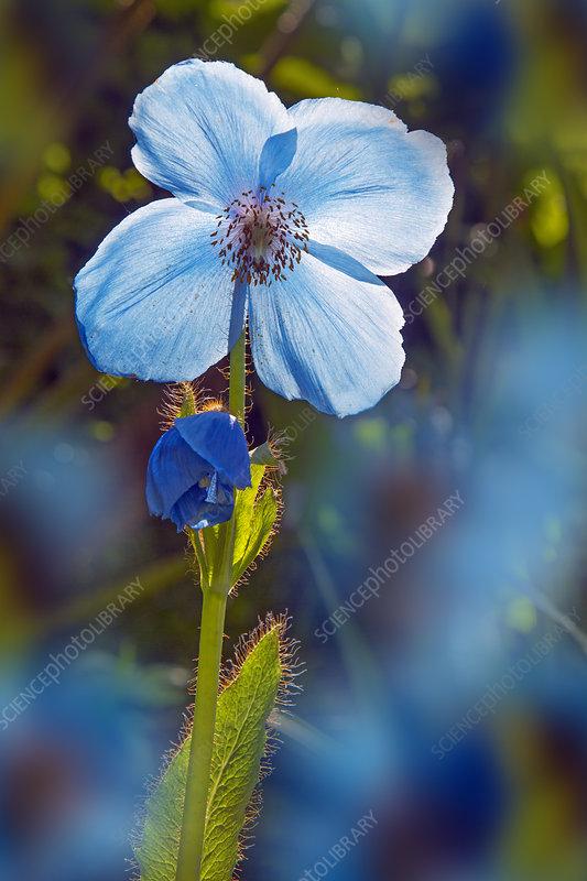Himalayan blue poppy (Meconopsis betonicifolia) flower