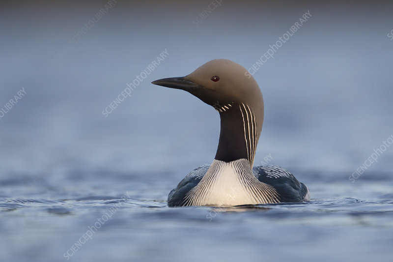 Black throated diver swimming