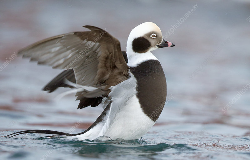 Long-tailed duck male flapping at surface, Vardo, Norway