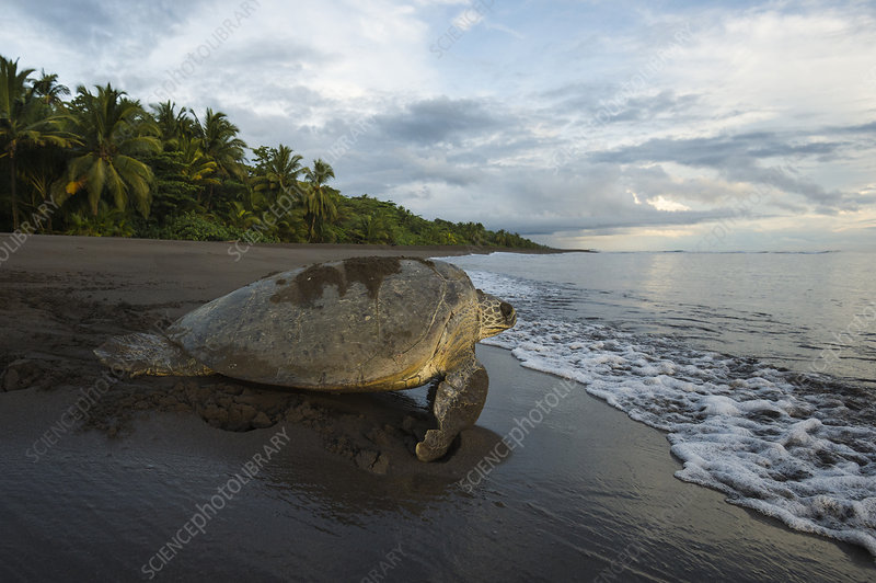 Green sea turtle female returning to the sea