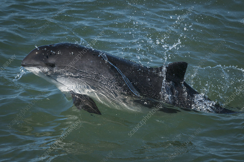 Harbour porpoise, Bay of Fundy, New Brunswick, Canada