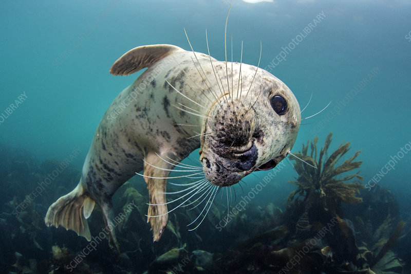 Playful young grey seal above a kelp forest