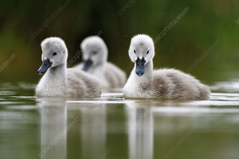 Mute swan cygnets on water