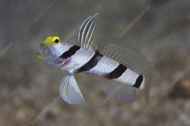 Yellownose shrimp goby with mouth open and fins flared