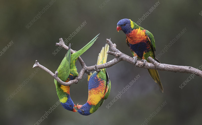 Three rainbow lorikeets displaying to each other