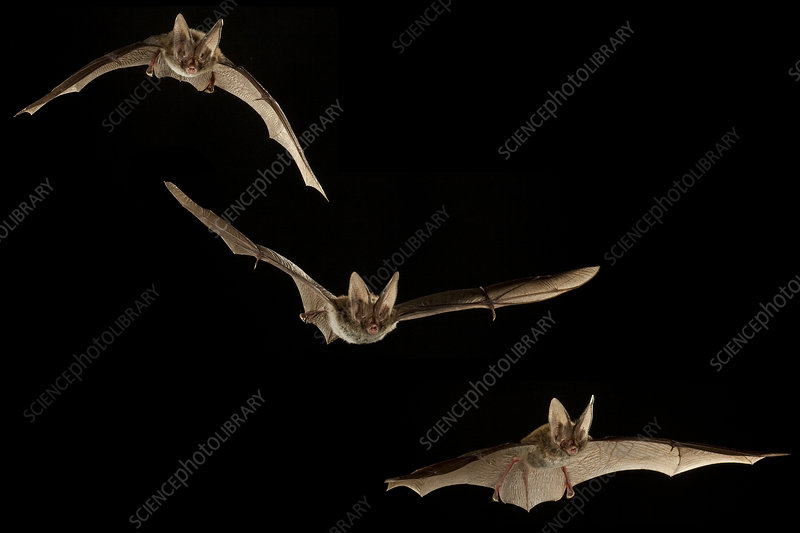 Rafinesque's big-eared bats flying, composite image