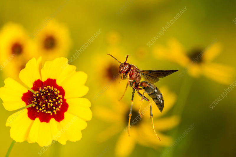 Paper wasp flying from flower