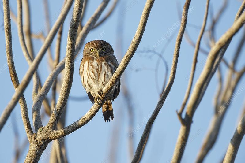 Ferruginous Pygmy-Owl, Yucatan, Mexico