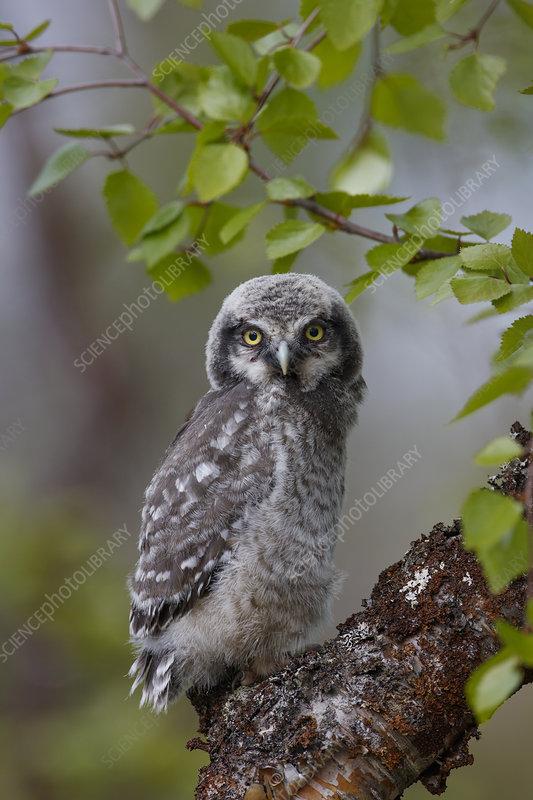 Fledgling Northern Hawk Owl, Finland