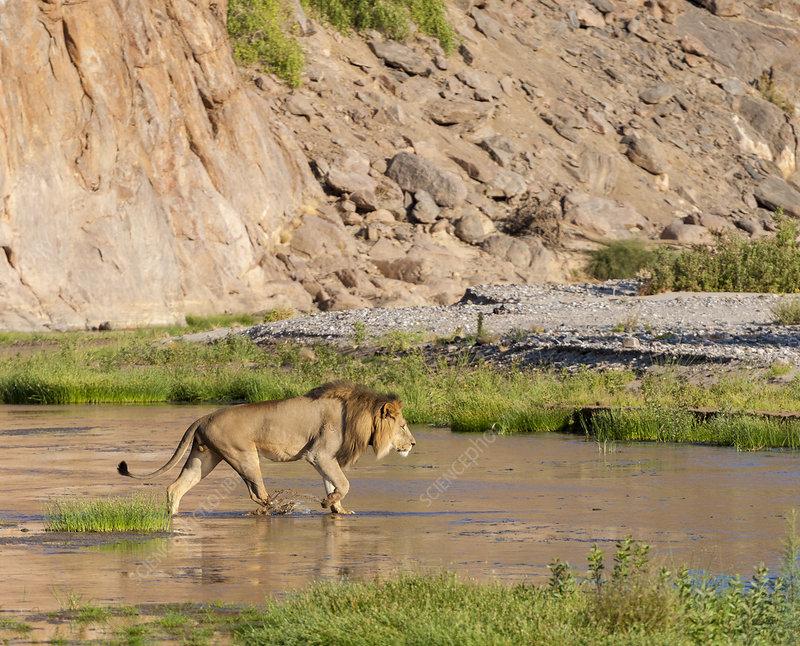 African lion male walking along the Kunene River, Namibia
