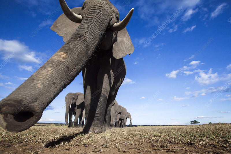 African elephant sensing with it's trunk