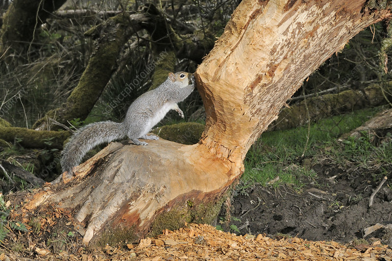 Grey squirrel standing on Willow tree