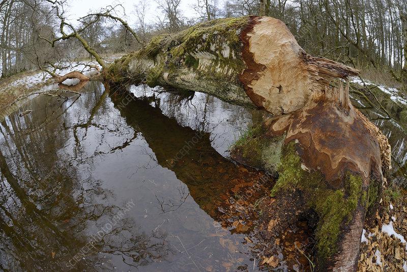 Downy birch tree (Betula pubescens) felled by beaver