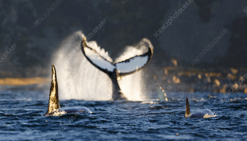 Humpback whale lobtailing on surface