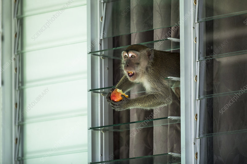 Crab eating macaque stealing food from tourist bungalow