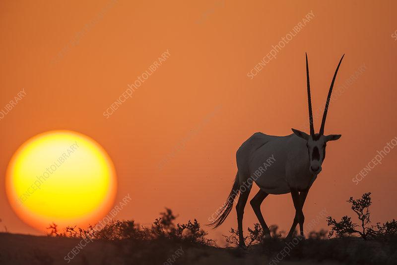 Arabian Oryx at sunset