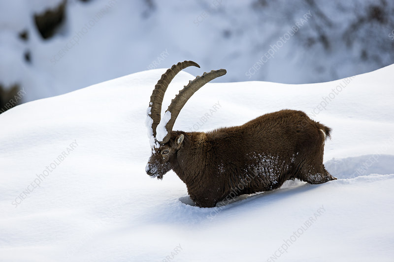 Alpine ibex adult male in deep snow