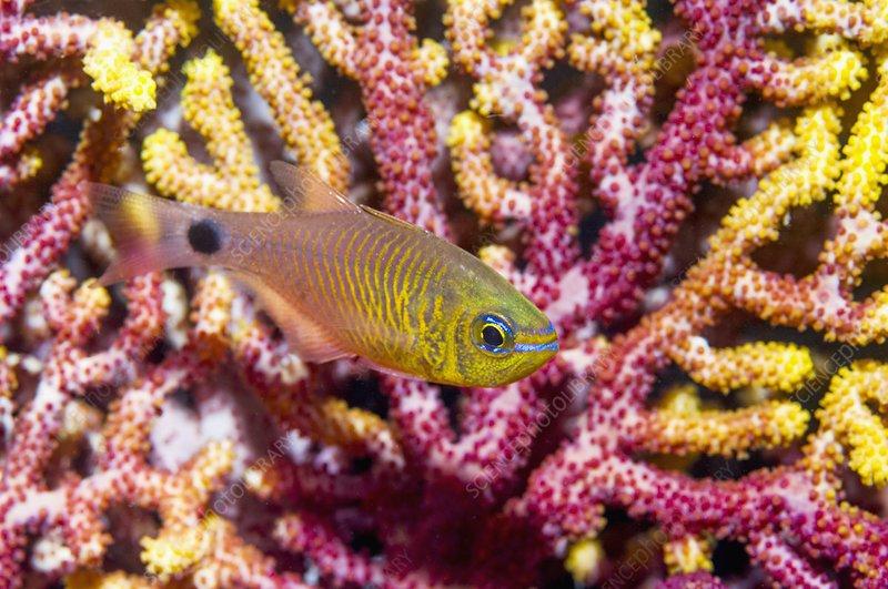 Orange-lined cardinalfish and coral