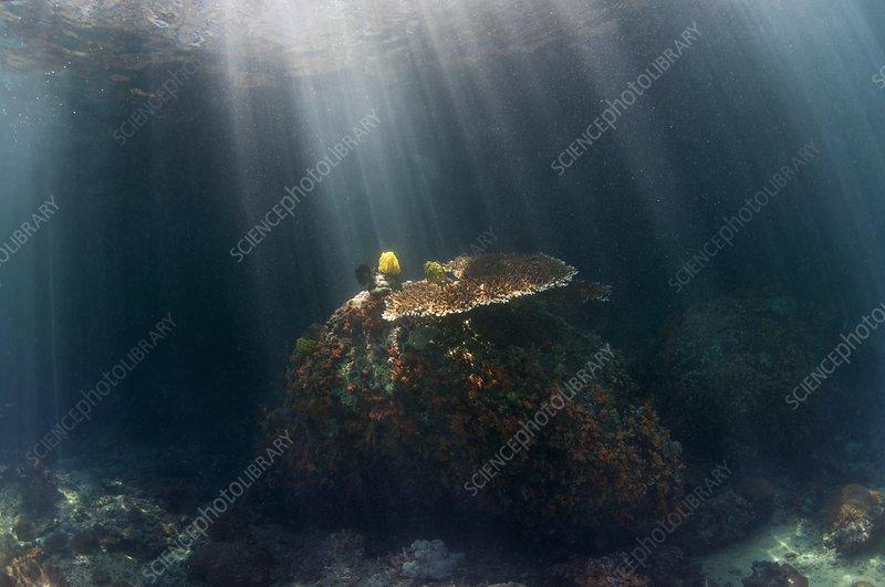 Acropora table coral