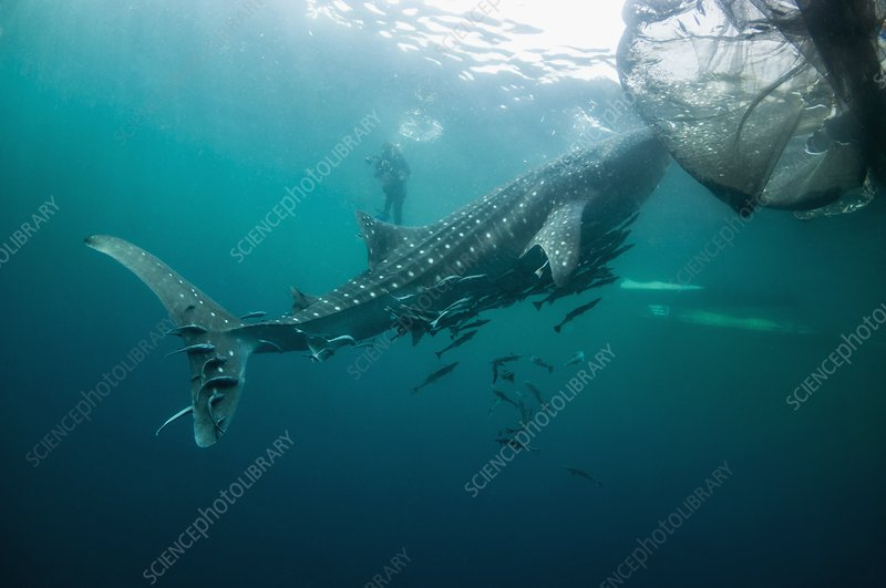 Whale shark with remoras