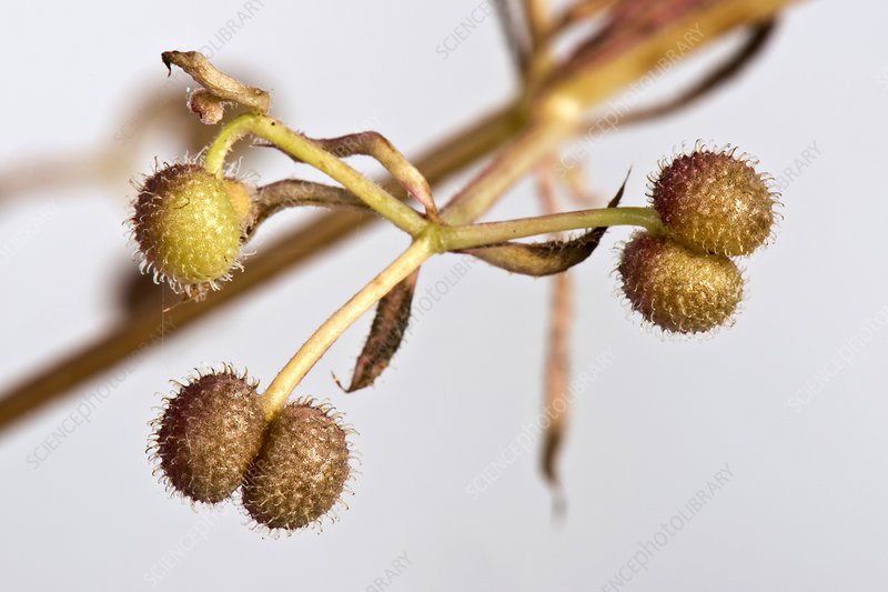 Burrs on Cleavers - Stock Image - C043/3316 - Science Photo Library