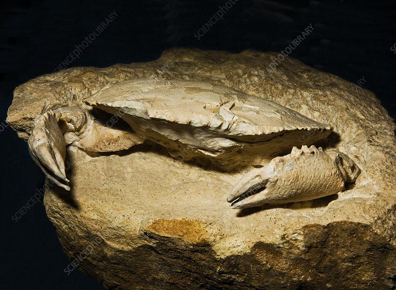Crab Fossil Harpactocarcinus Punctulatus