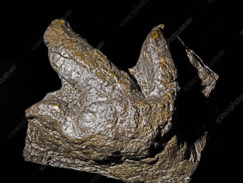 Dinosaur Footprint Theropod