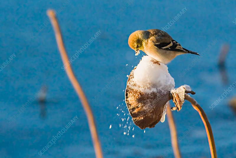 Goldfinch on Frosted Lotus