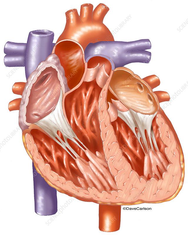 Heart Interior, illustration