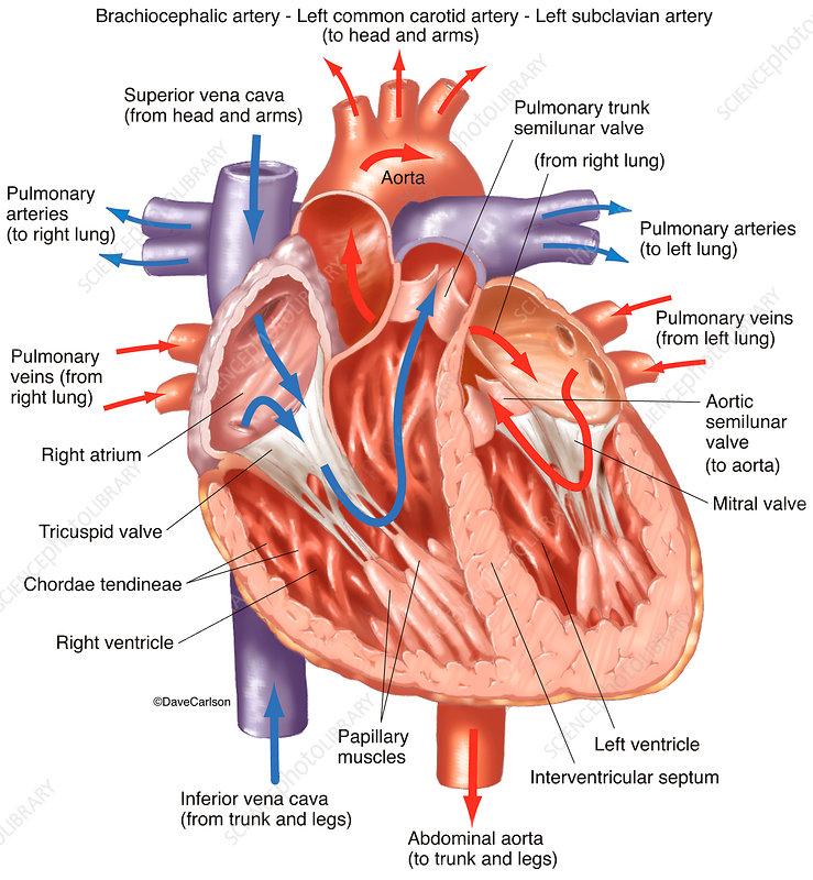 Heart Interior (labelled), illustration