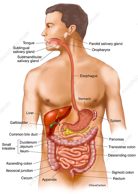 Gastrointestinal Tract (labelled), illustration