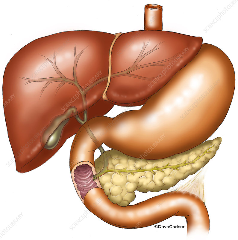 Liver, Stomach, Pancreas, and Gallbladder, illustration