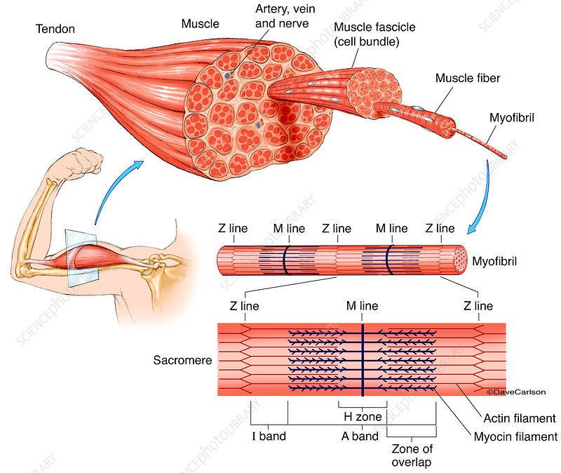 Muscle Structure Labelled Illustration Stock Image C043