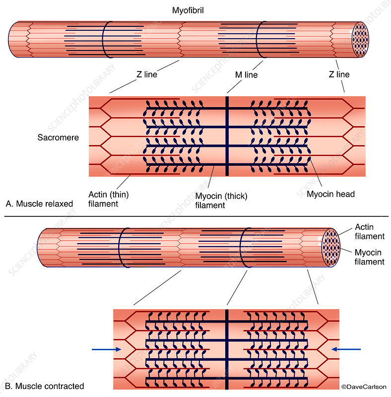 Muscle Contraction Diagram (labelled)