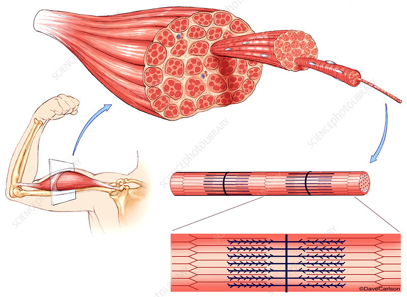 Muscle Structure, illustration