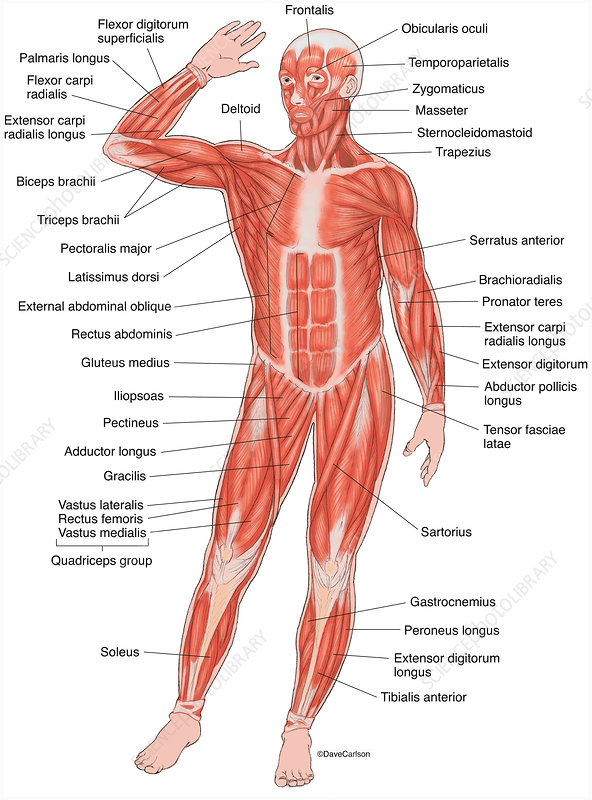 Anterior Muscles of the Human Body (labelled), illustration