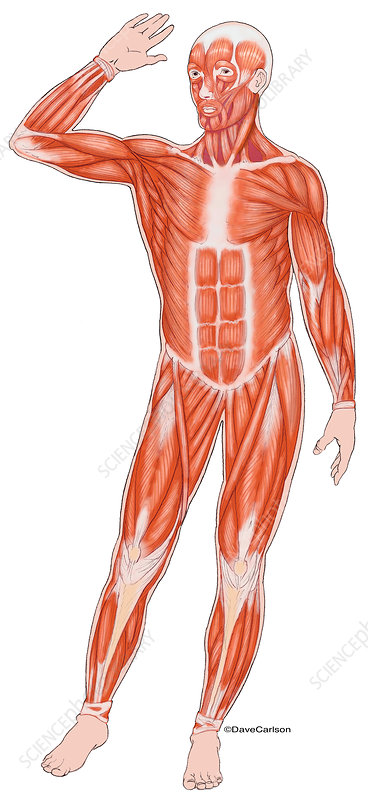 Anterior Muscles of the Human Body, illustration