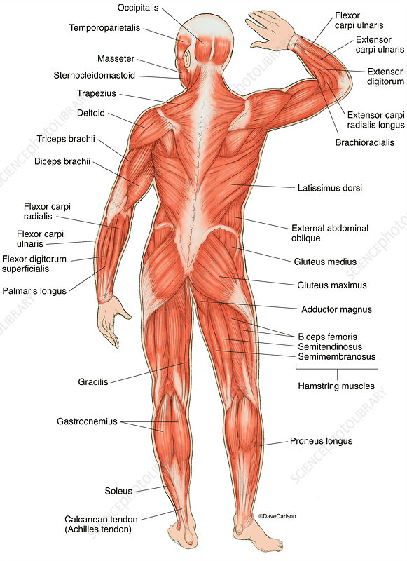 Posterior Muscles of the Human Body, illustration (labelled)