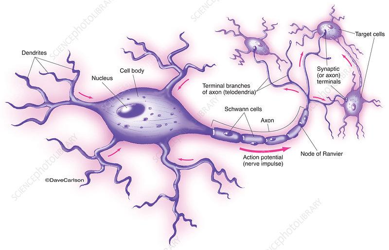 Motor Neuron (labelled), illustration