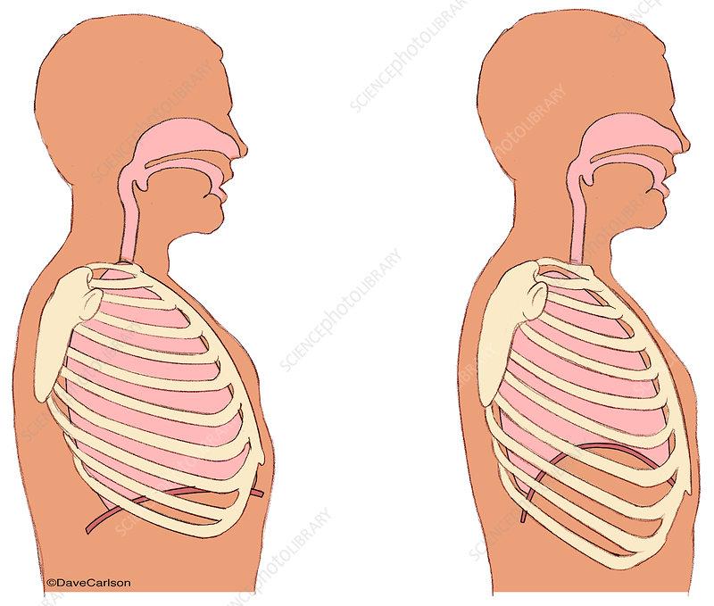 Breathing biomechanics, diagram